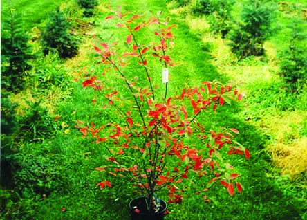 bush in nursery - Pembroke Landscaping - Nursery Selection